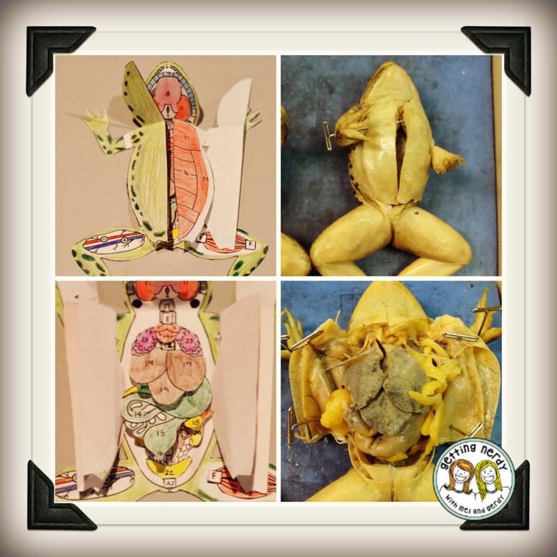 HELP! comparative anatomy essay on worm, crayfish, frog, fetal pig.?