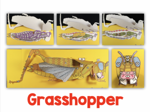 3-D Grasshopper Dissection Model by Getting Nerdy